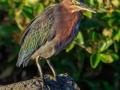 Groene Reiger | Zoutpannen Jan Kok, Curacau, 12 decmber 2017