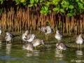 Kleine Geelpootruiter | Zoutpannen Jan Kok, Curacau, 19 december 2017