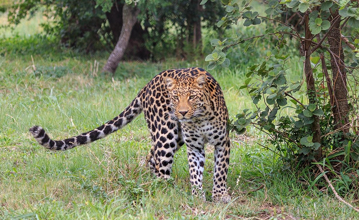 Luipaard | Silonque Bush Resort, 1 december 2014