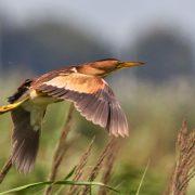 Vliegende Woudaap