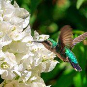 De nectar is goed dit jaar, een kolibrie geniet